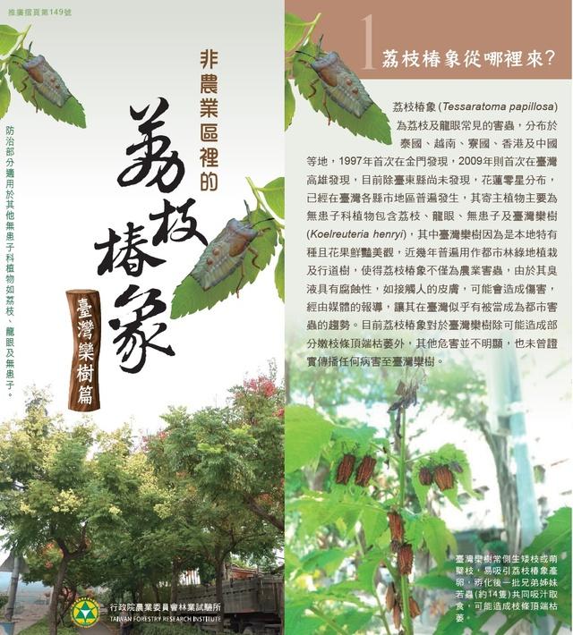 荔枝椿象防治-台灣欒樹篇1